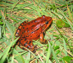ca_redlegged_frog_Jamie_Bettaso_USFWS_FPWC_commercial_use_ok.jpg