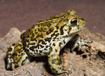 Boreal_Toad_Chris_Brown_USGS_FPWC.png