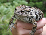 Boreal_Toad_USGS_Bill_Battaglin_FPWC.png