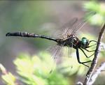 Hines_Emerald_dragonfly_P_Burton_USFWS_FPWC.jpg