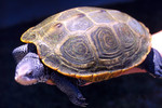 Diamondback_terrapin_adult_female_Mary_Hollinger_ NODC_ biologist, NOAA_wikimedia_FPWC.jpg