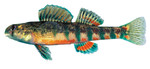 etheostoma_brevirostrum_holiday_darter_USGS_FPWCjpg.jpg