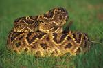 rattle_snake_portrait_DBruceMeans.jpg