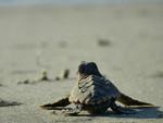 loggerhead_sea_turtle_baby_ Becky_Skiba_USFWS_FPWC.jpg