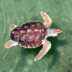 loggerhead_turtle_noaa_FPWC.jpg