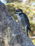 Black_backed_woodpecker_Picoides_arcticus_2_Cephas_Wikimedia_FPWC.jpg
