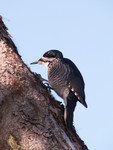 black_backed_woodpecker_Picoides_arcticus_Cephas_Wikimedia_FPWC.jpg
