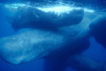 sperm_whale_NOAA_FPWC.jpg