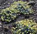 Umtanum_Desert_Buckwheat_2_Ted_Thomas_USFWS_FPWC.jpg