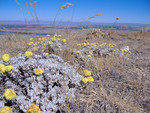 Umtanum_Desert_Buckwheat_Tim_McCracken_USFWS_FPWC.jpg
