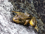 Mountain_yellow_legged_frog_Rick_Kuyper_USFWS_FPWC.jpg