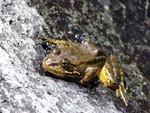 Mountain_yellow_legged_frog_Rick_Kuyper_USFWS_FPWC.jpg