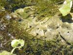 Bifid_duct_Springsnail_Rob_Mrowka_Center_for_Biological_Diversity_FPW.JPG