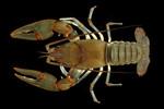 Big_Sandy_Crayfish_Guenter_Schuster_FPWC.jpg