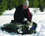 Wolf_OR5_ ODFW.jpg