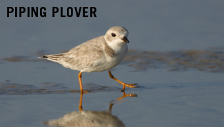 piping plover research paper