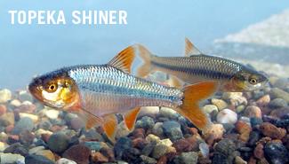 Topeka Shiner