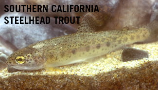 Southern california steelhead trout for California fish and game jobs
