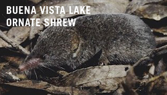 Buena vista Lake ornate shrew