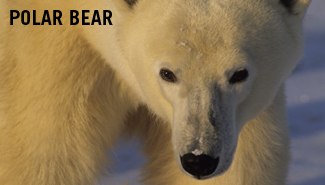polar bears endangered essay The polar bear was listed as threatened under the act in 2008  that includes  members with no great love for the endangered species act.