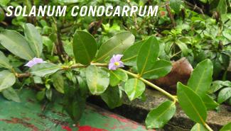 SolanumConocarpum