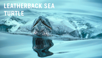 essay on turtle Loggerhead sea turtle this essay loggerhead sea turtle and other 63,000+ term papers, college essay examples and free essays are available now on reviewessayscom.