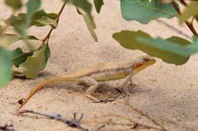 Sand Dune Lizard