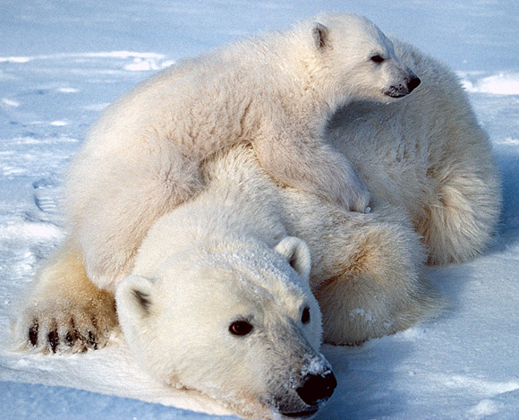 http://www.biologicaldiversity.org/swcbd/species/polarbear/images/polar_bear_scott_schliebe_usfws.jpg